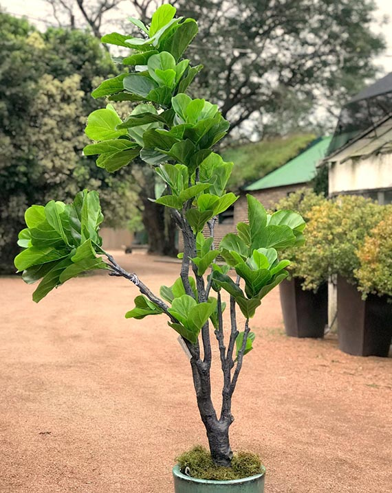 Planta Artificial de Ficus Iyrata